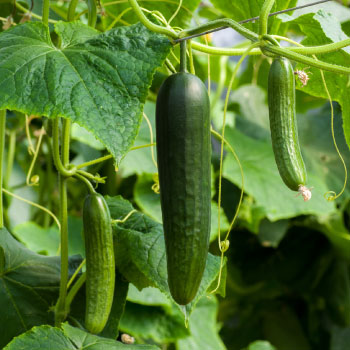 Growing and Planting Heirloom Cucumbers