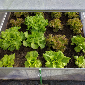 Growing and Planting Heirloom Lettuce