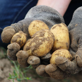 Growing and Planting Heirloom Potatoes