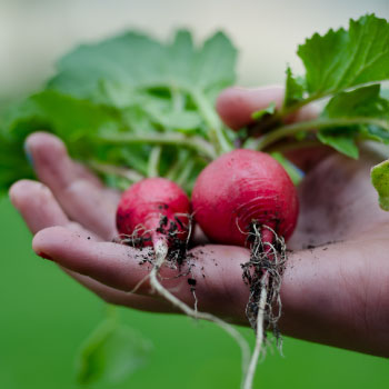 Growing and Planting Heirloom Radishes
