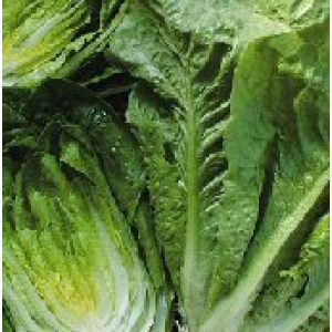Seed Kingdom Heirloom Seed 1 Lettuce Parris Island Romaine Great Heirloom Vegetable 10,000 Seeds