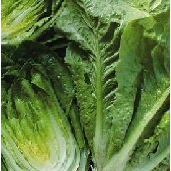 Seed Kingdom Heirloom Seed 1 Lettuce Parris Island Romaine Great Heirloom Vegetable 10,000 Seeds