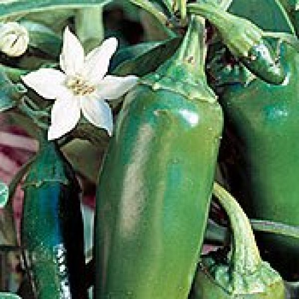 SEEDS OF CHANGE Organic Seed 1 Seeds of Change Certified Organic Jalapeno Pepper