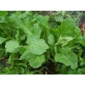 Seed Kingdom Heirloom Seed 1 Arugula Italian Cress Rocket Great Heirloom Vegetable Bulk 1 Lb Seeds