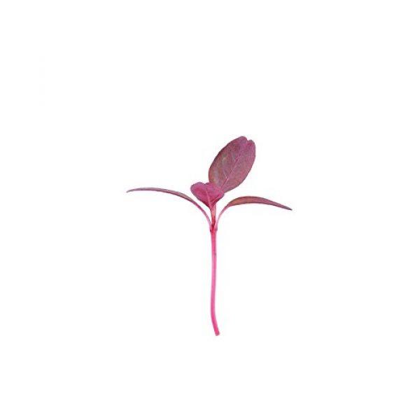 David's Garden Seeds Heirloom Seed 1 David's Garden Seeds Microgreens Amaranth Red Garnet QQ2213 (Red) Non-GMO, Heirloom Seeds One Ounce Pack