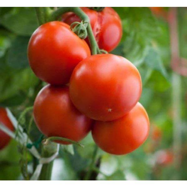 "Isla's Garden Seeds Organic Seed 4 ""Homestead"" Tomato Seeds, 150+ Premium Heirloom Seeds, On Sale & Gardeners Choice Top Seller, (Isla's Garden Seeds), Non GMO Organic, 90% Germination, Highest Quality 100% Pure"