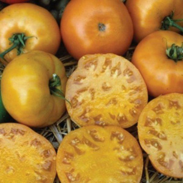 Isla's Garden Seeds Organic Seed 2 Golden Jubilee Tomato Seeds, 100+ Premium Heirloom Seeds, Popular Hot Seller and On Sale, (Isla's Garden Seeds), Non GMO Organic, 85% Germination Rate, Highest Quality Seeds