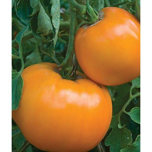 Isla's Garden Seeds Organic Seed 1 Golden Jubilee Tomato Seeds, 100+ Premium Heirloom Seeds, Popular Hot Seller and On Sale, (Isla's Garden Seeds), Non GMO Organic, 85% Germination Rate, Highest Quality Seeds