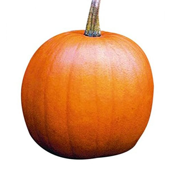 Marde Ross & Company Heirloom Seed 1 Jack O Lantern Pumpkins Seeds - Heirloom and The Classic for Carving and Cooking