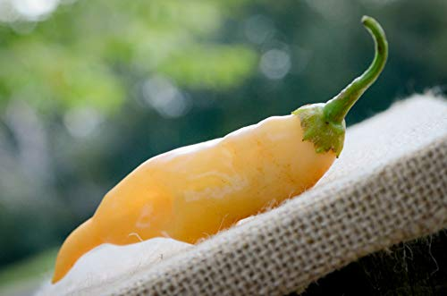 Sherwoods Seeds  2 Sugar Rush Malawi Piquante Heirloom Pepper Premium Seed Packet + More