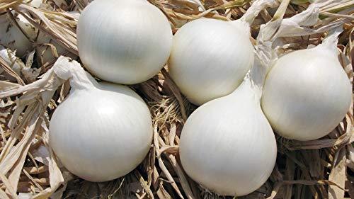 SeedsUA  4 Seeds Onion White Queen Giant Vegetable Heirloom Ukraine