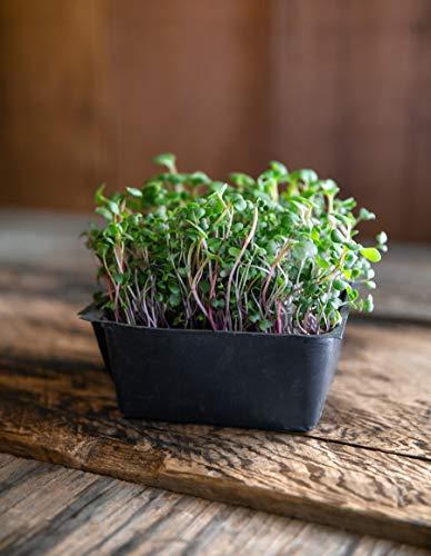 Turnip & Broccoli Sprouts Seeds   Rainbow Heirloom Seed Co.