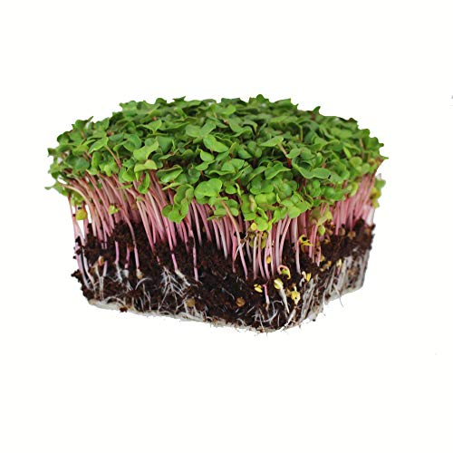 Mountain Valley Seed Company  1 Radish Sprouting Seed - Red Arrow Variety - 1 Lb Seed Pouch - Heirloom Radish Sprouts - Non-GMO Sprouting and Microgreens