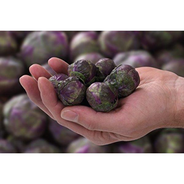 Fertile Ukraine Seeds Heirloom Seed 2 Seeds Brussels Sprouts Rosella Purple Cabbage Vegetable Heirloom Ukraine
