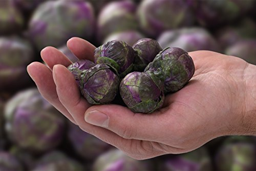 Fertile Ukraine Seeds  2 Seeds Brussels Sprouts Rosella Purple Cabbage Vegetable Heirloom Ukraine