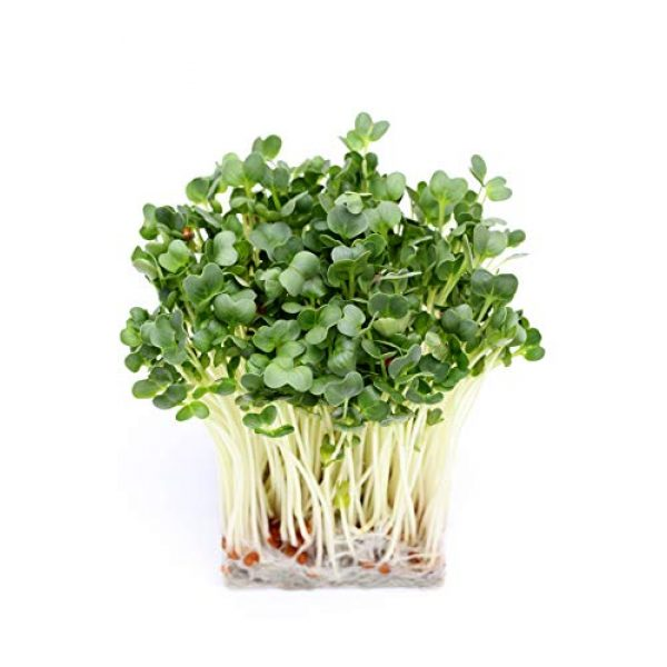 Raw Earth Colors Organic Seed 2 Daikon Radish Seeds for Planting - Sprouting - Organic Microgreens - Fast Growing 500 Daikon Vegetable Seeds.