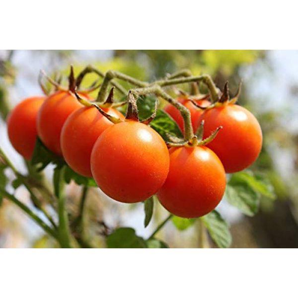 Isla's Garden Seeds Heirloom Seed 1 Sugar Lump Cherry Tomato, 200+ Premium Heirloom Seeds, Sweet Satisfying Flavor, (Isla's Garden Seeds), Non GMO, 90% Germination, Highest Quality 100% Pure