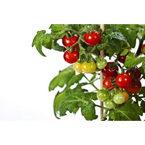 RDR Seeds  1 RDR Seeds 50 Tiny Tim Tomato Seeds - Patio Tomato