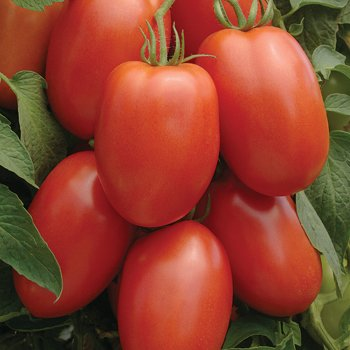 Seed Kingdom  1 Tomato Roma Great Heirloom Garden Vegetable 6