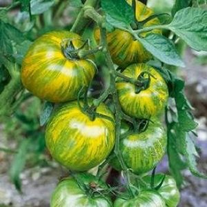 David's Garden Seeds Organic Seed 1 David's Garden Seeds Tomato Slicing Green Zebra SL2276 (Green) 50 Non-GMO, Organic, Heirloom Seeds