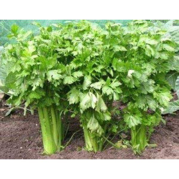 Isla's Garden Seeds Heirloom Seed 1 Celery (Tall Utah 52-70 Improved) Seeds, 2,000+ Premium Heirloom Seeds, ON Sale!, (Isla's Garden Seeds), Non GMO Survival Seeds, 99.8% Purity, 90% Germination, Highest Quality!