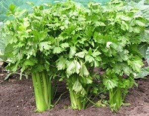 Isla's Garden Seeds  1 Celery (Tall Utah 52-70 Improved) Seeds