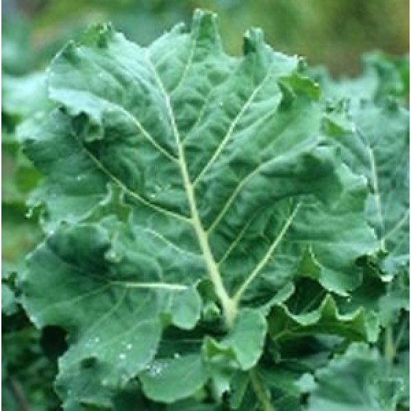 Seed Kingdom Heirloom Seed 1 Kale Premier Great Heirloom Vegetable by Seed Kingdom Bulk 30,000 Seeds