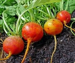 Seed Kingdom  1 seed kingdom Beet Golden Detroit Great Heirloom Vegetable Bulk 1 Lb Seeds