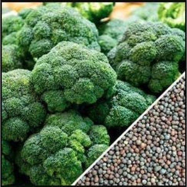 Isla's Garden Seeds Organic Seed 5 Broccoli Seeds (De Cicco), 300+ Premium Heirloom Seeds, ON SALE!, (Isla's Garden Seeds), Non Gmo Organic, 90% Germination, Highest Quality.
