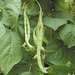 Dirt Goddess Super Seeds  2 Bulk Organic Kentucky Wonder Pole Beans (1/2 Lb)