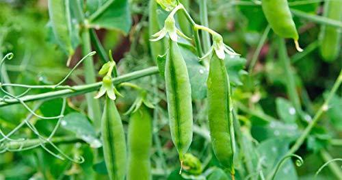 Lentil) 40+ Premium Heirloom Seeds (Isla's Garden Seeds)