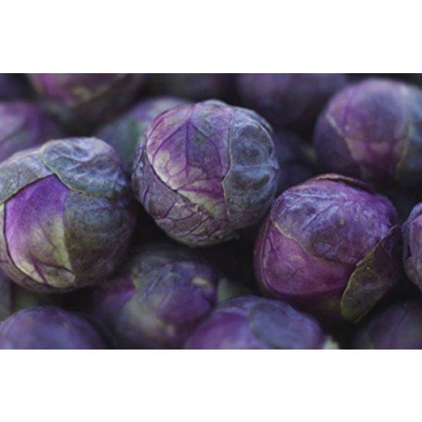 Fertile Ukraine Seeds Heirloom Seed 7 Seeds Brussels Sprouts Rosella Purple Cabbage Vegetable Heirloom Ukraine