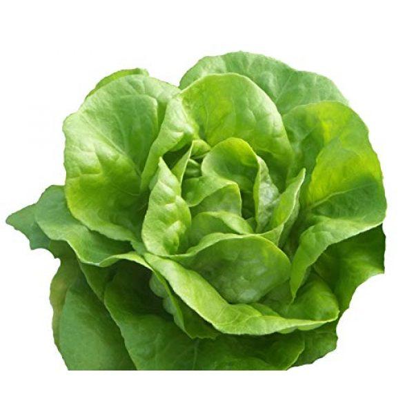 Hill Creek Seeds Organic Seed 1 Bib Butterhead Lettuce Seeds - Organic Heirloom - 4,000 Seeds Non GMO