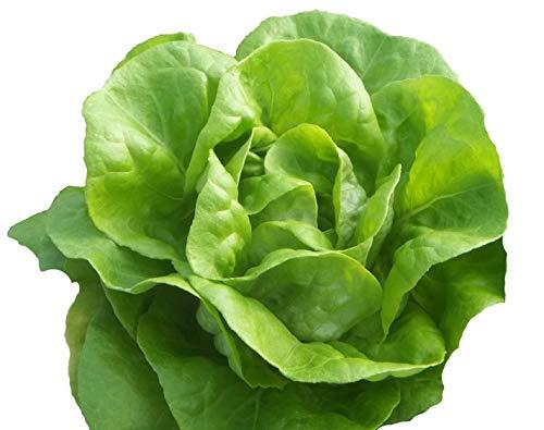 Hill Creek Seeds  1 Bib Butterhead Lettuce Seeds - Organic Heirloom - 4