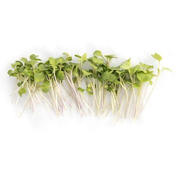 Rainbow Heirloom Seed Co. Heirloom Seed 4 Broccoli Sprouting Seeds for Broccoli Sprouts & Microgreens | Waltham 29 Variety | Non GMO Heirloom Seeds | 1 LB Resealable Bag | Perfect for Sprouting Jar & Seed Tray | Rainbow Heirloom Seed Co.