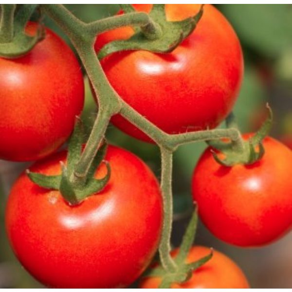 Isla's Garden Seeds Organic Seed 2 Large Red Cherry Tomato Seeds, 500+ Premium Heirloom Seeds, Fantastic Addition of Flavor to Your Home Garden!, (Isla's Garden Seeds), 90% Germination Rates, Non GMO Organic, Highest Quality