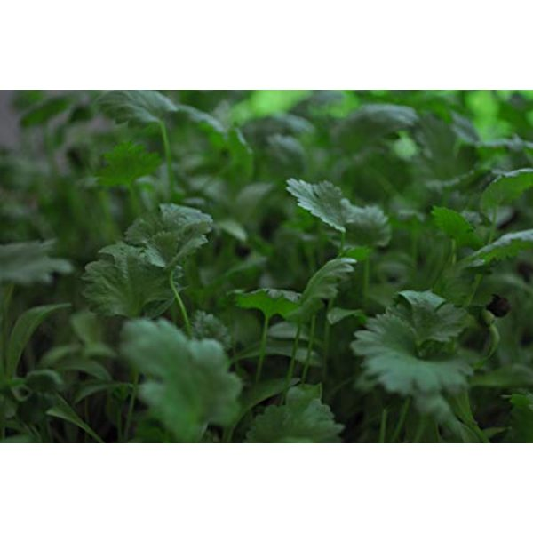COUNTRY CREEK ACRES GROWING IS IN OUR ROOTS Organic Seed 3 Cilantro Seed, Sprouting Seeds, Microgreen, Sprouting, 10 OZ, Organic Seed, Non GMO - Country Creek Acres Brand - High Sprout Germination- Juicing, Gardening, Hydroponics, Growing Salad Sprouts