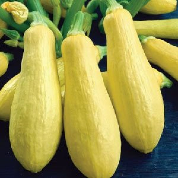 Isla's Garden Seeds Heirloom Seed 1 Summer Early Prolific Straightneck Squash Seeds(Yellow)! - 50+ Premium Heirloom Seeds - ON Sale! - Cucurbita Pepo - (Isla's Garden Seeds) - Non GMO - 90% Germination - Total Quality