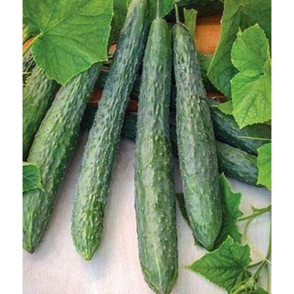 Isla's Garden Seeds Heirloom Seed 2 Green Dragon Cucumber Seeds, Giant Cucumbers 30 to 45 cm Long!,Great for Your Home Garden! 100+ Premium Heirloom Seeds,(Isla's Garden Seeds), 95% Germination Rate, Non GMO, Highest Quality