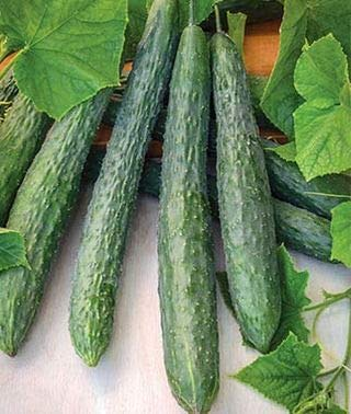 Giant Cucumbers 30 to 45 cm Long!