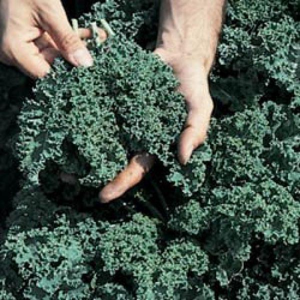 Seed Kingdom Heirloom Seed 1 Kale Vates Blue Curled Great Heirloom Vegetable BULK 1 Lb Seeds By Seed Kingdom by seed kingdom