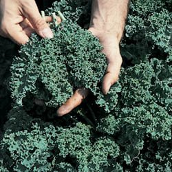 Seed Kingdom  1 Kale Vates Blue Curled Great Heirloom Vegetable BULK 1 Lb Seeds By Seed Kingdom by seed kingdom