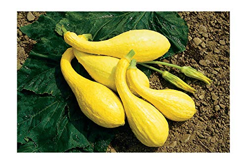 David's Garden Seeds  1 David's Garden Seeds Squash Summer Yellow Crookneck SL2450 (Yellow) 50 Non-GMO