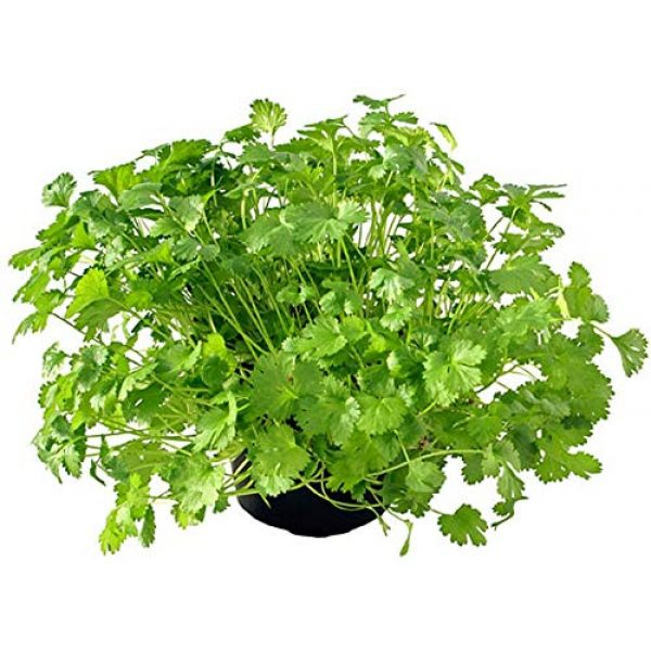 COUNTRY CREEK ACRES GROWING IS IN OUR ROOTS Organic Seed 4 Cilantro Seed, Sprouting Seeds, Microgreen, Sprouting, 10 OZ, Organic Seed, Non GMO - Country Creek Acres Brand - High Sprout Germination- Juicing, Gardening, Hydroponics, Growing Salad Sprouts
