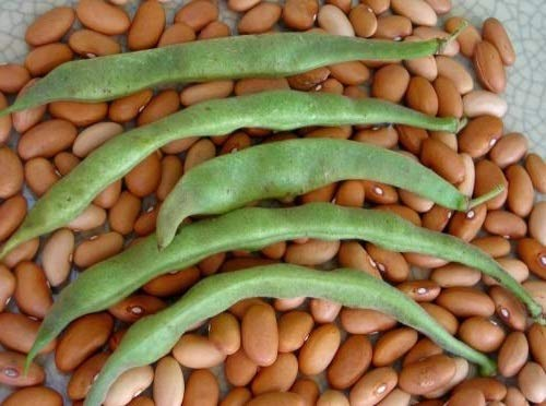 David's Garden Seeds  1 David's Garden Seeds Bean Bush Romano #14 SL9876 (Green) 100 Non-GMO