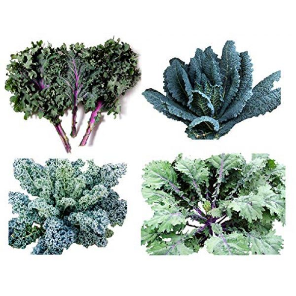 Harley Seeds Heirloom Seed 1 HARLEY SEEDS 1000+ Kale Mixed Seeds Please Read! This is a Mix!!! Dwarf Blue Curled, Lacinato Dinosaur, Siberian Dwarf, Russian Red, Heirloom Non-GMO USA Grown