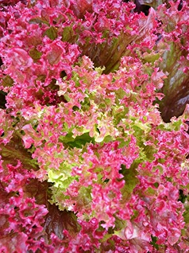 Beautiful Green Color with Dark Pink Edges