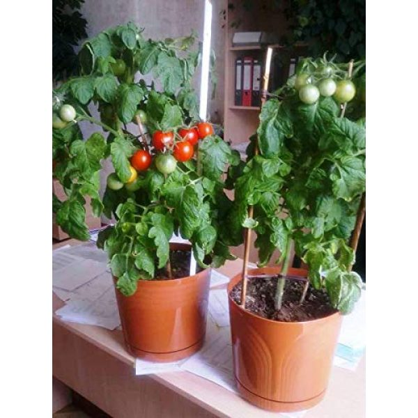 SeedsUA Heirloom Seed 6 Seeds Rare Tomato Indoor Pot Red Early Vegetable Heirloom Ukraine