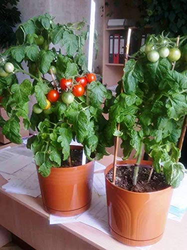 SeedsUA  6 Seeds Rare Tomato Indoor Pot Red Early Vegetable Heirloom Ukraine