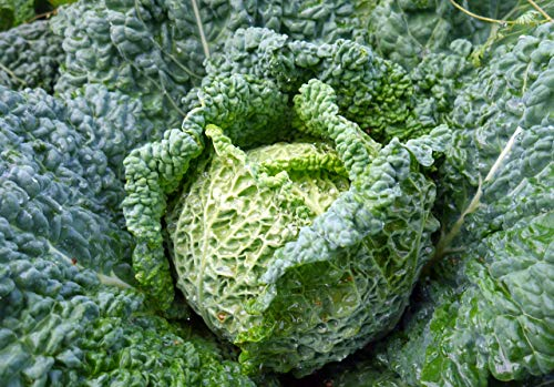 SeedsUA  2 Seeds Savoy Cabbage Vertus Beautiful Vegetable Heirloom Ukraine for Planting